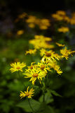 Wild yellow daisies Royalty Free Stock Photo