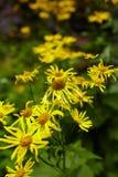 Wild yellow daisies Stock Image