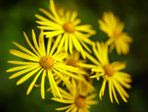Wild yellow daisies Royalty Free Stock Photography
