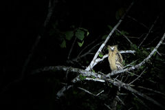 Wild yellow eye owl at night, Sukau Junction Stock Image