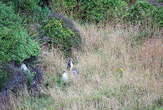Three penguins in grass Stock Photography