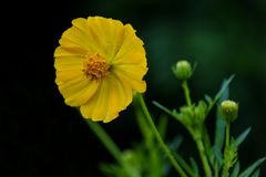 wild yellow för blomma Royaltyfria Bilder