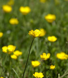 wild yellow för blomma Royaltyfria Foton