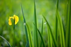 wild yellow för iris Royaltyfria Bilder
