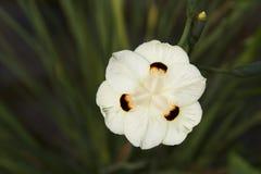 wild yellow för iris Fotografering för Bildbyråer