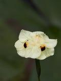 wild yellow för iris Arkivfoton