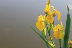 wild yellow för iris Royaltyfri Bild