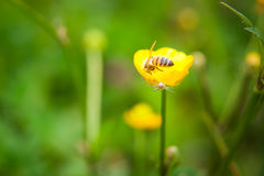 Wild yellow flower with bee feeding with pollen and crab spider hunting Royalty Free Stock Photo