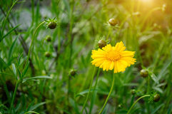 Wild yellow flower Royalty Free Stock Photo
