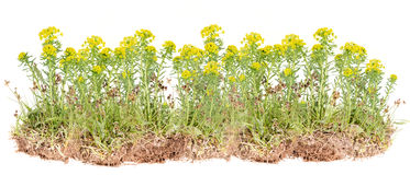 Wild yellow flower Stock Photo