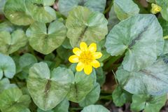 Wild yellow flower in green foliage. Wild yellow flower during Spring season growing with green foliage background Stock Image