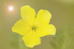 Wild yellow flower macro close up. Stock Photography