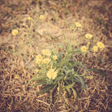 Wild yellow flower meadow Royalty Free Stock Image