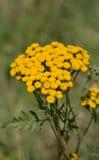 Wild yellow flower Stock Photos