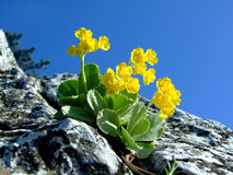Wild yellow flower on the rocky slope stock photo