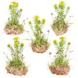 Wild yellow flower Royalty Free Stock Photos