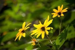 Wild yellow flowers Royalty Free Stock Photos