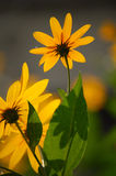 Wild yellow flowers. Blooming against sun in autumn Stock Photos