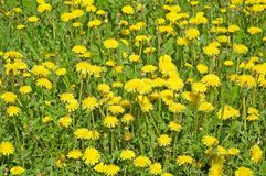 Wild yellow flowers. As the background Royalty Free Stock Photos