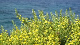 Wild yellow flowers on a background of blue sea. stock video footage