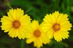 Wild yellow flowers Royalty Free Stock Images