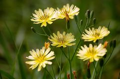 Wild yellow flowers blooming. Wild yellow flowers bloom in springtime stock image