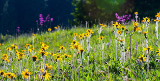 Wild yellow flowers in bright sun light Stock Photo
