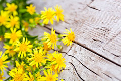 Wild yellow flowers Royalty Free Stock Photography