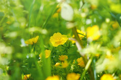 Wild yellow flowers in forest Stock Photo