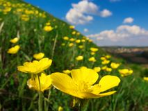 Wild yellow flowers on a grassy slope Stock Photo