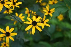 Wild yellow flowers royalty free stock image