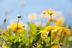 Wild yellow flowers. Growing on a bright summer day Royalty Free Stock Photography