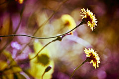 Wild yellow flowers. Wild yellow flowers in a meadow Royalty Free Stock Images