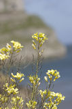 Wild yellow flowers over sea, coast Stock Image