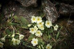 Wild yellow flowers, primula vulgaris or primerose Royalty Free Stock Photo