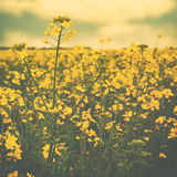 Wild yellow flowers on the summer meadow. Abstract environmental backgrounds with faded colors Royalty Free Stock Images