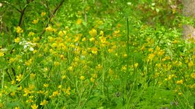 Wild flowers in the wind. Wild yellow flowers sway in the wind, the beetle creeps along the petals stock footage