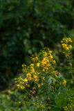 Wild yellow flowers in upstream Royalty Free Stock Photos