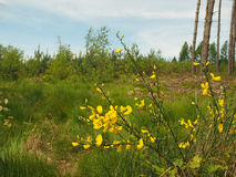 Wild yellow flowers in the young forest Royalty Free Stock Photo