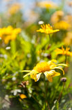 Wild yellow flowes. Wild yellow flowers growing on a bright summer day Royalty Free Stock Photos