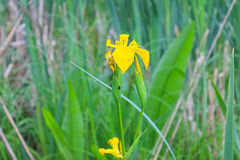 Wild yellow iris flowers Royalty Free Stock Images