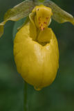 Wild Yellow Lady`s Slipper Cypripedium parviflorum Stock Photo