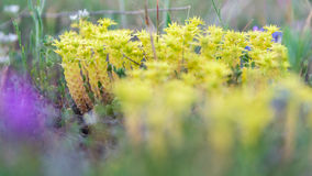 Wild yellow little plants Royalty Free Stock Photography
