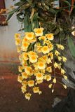 Wild yellow orchid  flowers. Yellow orchid yellow orchid wild in forest rear orchid plant in Thailand Royalty Free Stock Image