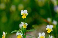 Wild Yellow Pansy Flowers In A Field. Alpine meadow violets. Viola tricolor. natural floral background stock photos