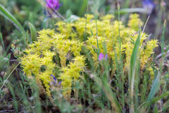 Wild yellow plants close up Royalty Free Stock Photos