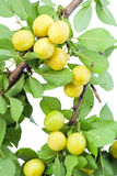 Wild yellow  plums Stock Photos