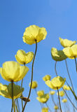Wild yellow poppies against the  blue sky Royalty Free Stock Images