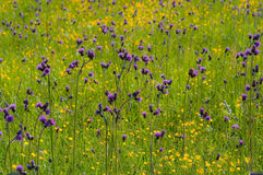 Wild yellow and purple flowers in bright sun light Stock Photos