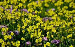 Wild yellow and purple flowers royalty free stock image
